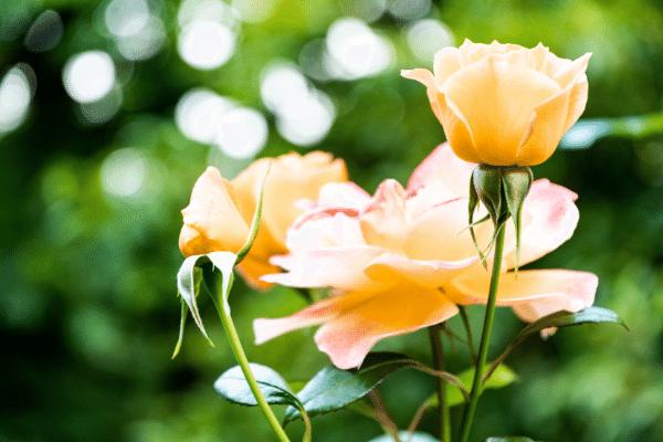 Apricot coloured rose bush